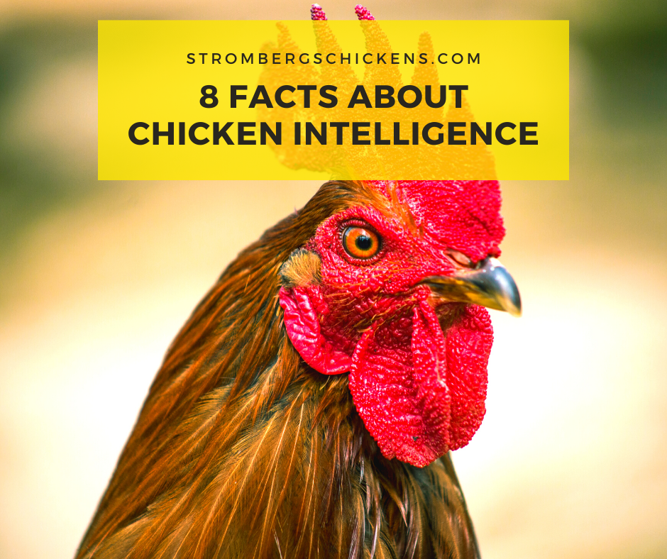8 Facts About Chicken Intelligence Stromberg's