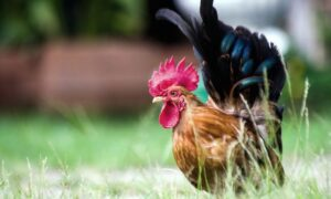 3 Things To Know About Bantam Chickens
