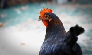 8 Facts About Chicken Intelligence