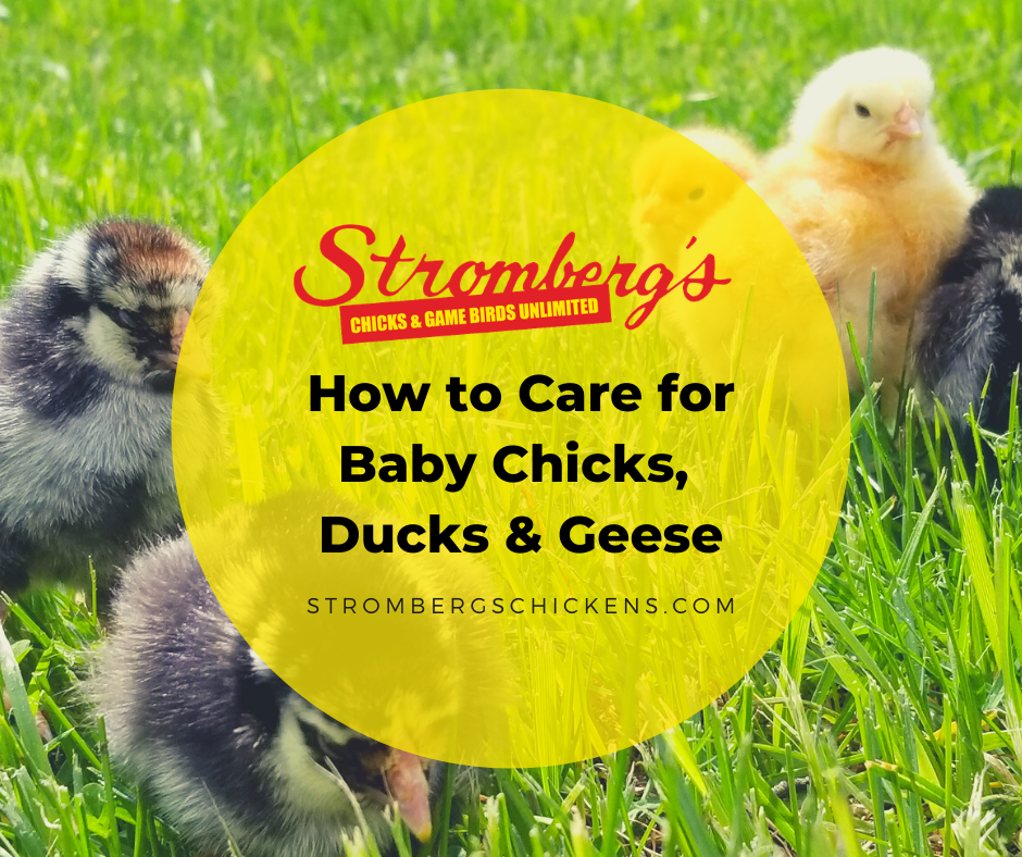 How to care for baby chicks, ducks & geese