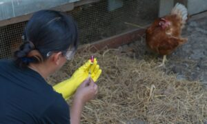 How To Prevent and Treat Infectious Bronchitis in Chickens
