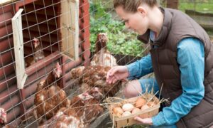 What To Do With Hens That No Longer Lay Eggs