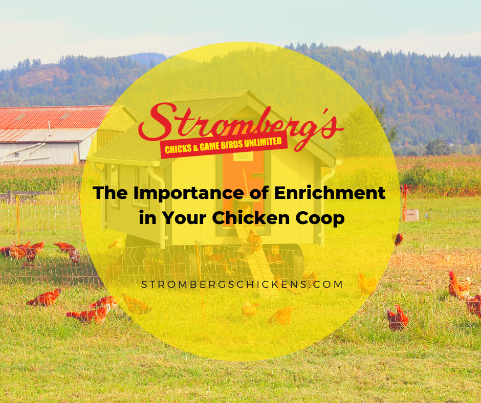 The Importance of Enrichment in Your Chicken Coop Stromberg's
