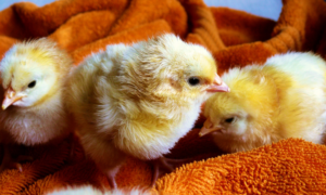 The Most Common Chick Diseases