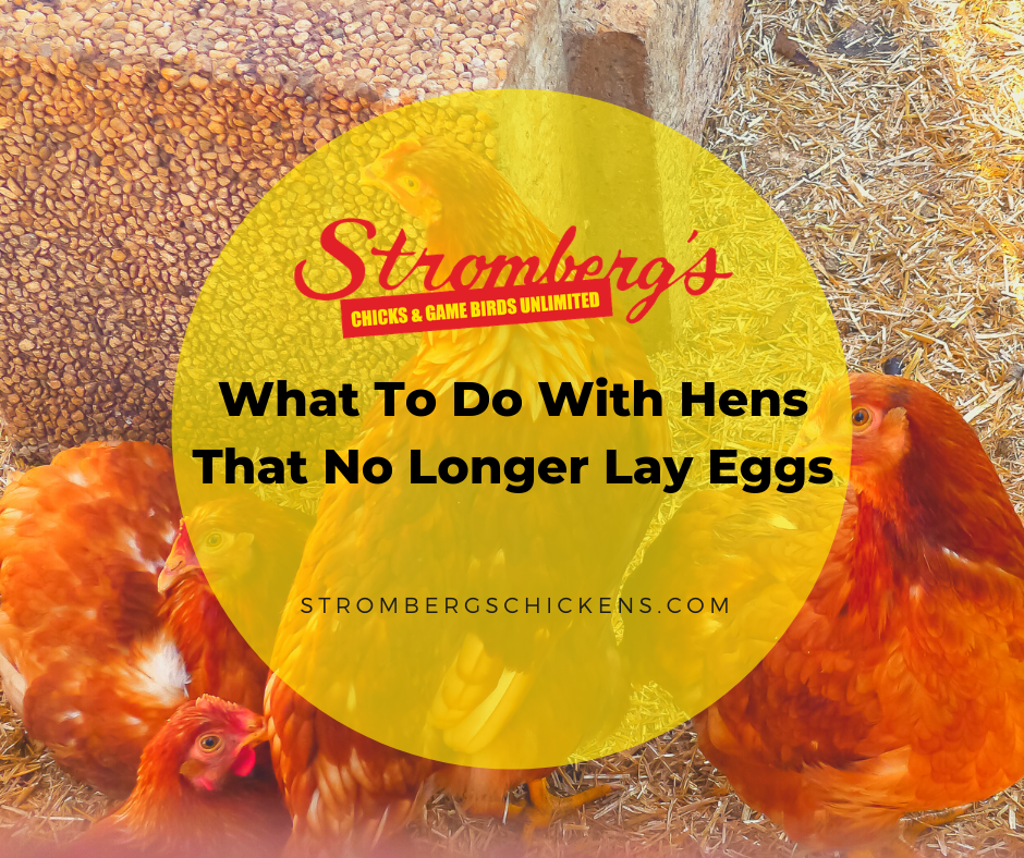 What to Do with Hens That No Longer Lay Eggs Stromberg's