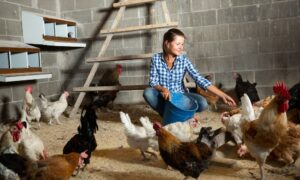The Importance of Enrichment in Your Chicken Coop