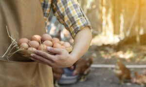What To Look For in an Egg-Laying Chicken Breed